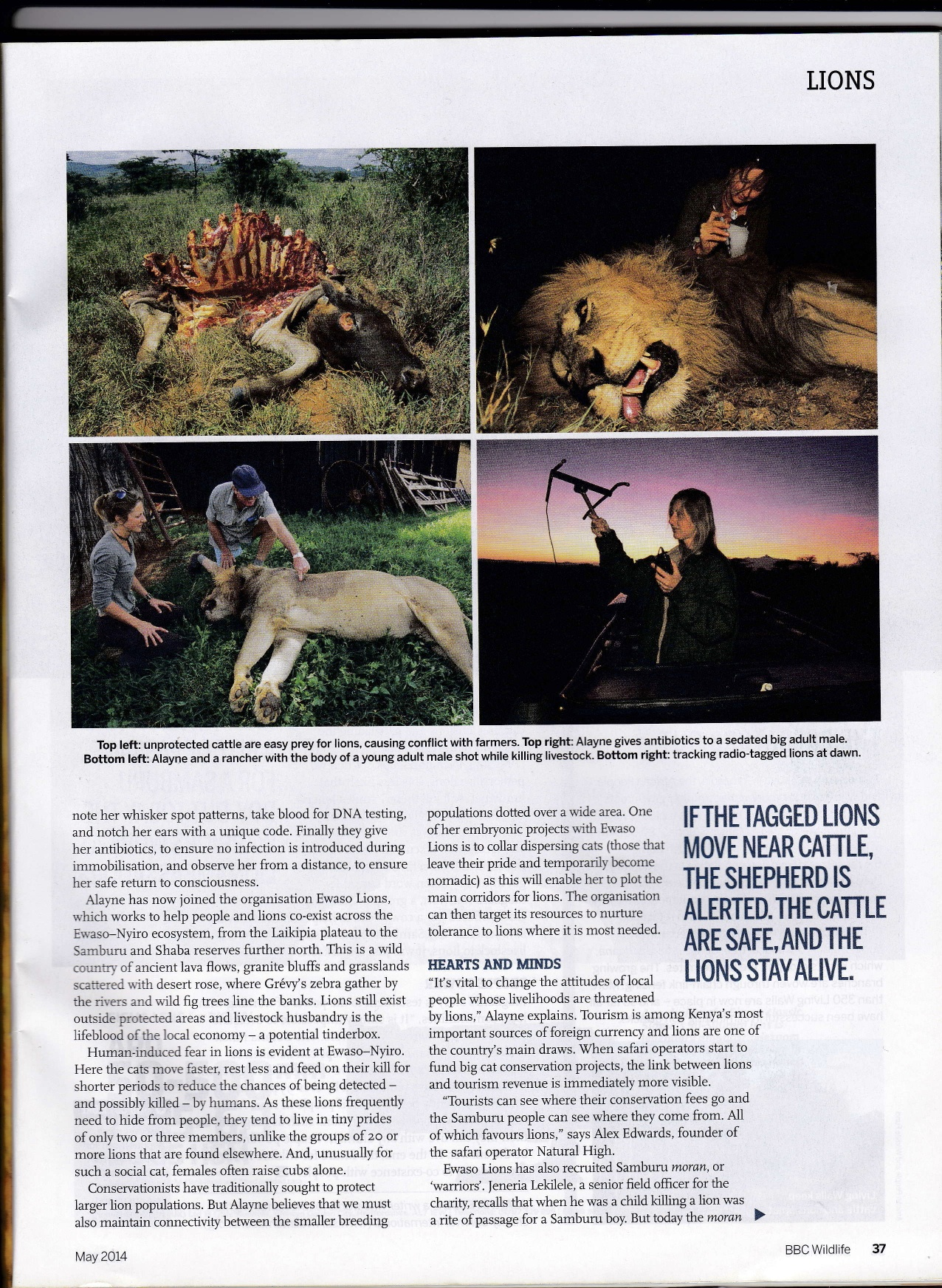 BBC WILDLIFE LIONS Page Four jpeg